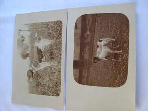 Foto d epoca in cartolina postale cani da caccia