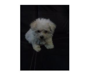 Cucciola di Maltese toy