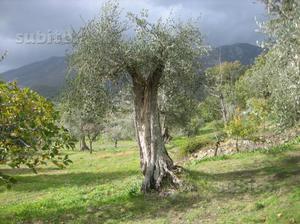 Piante di olivo di circa 20 anni