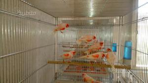 3 coppie di canarini rosso mosaico