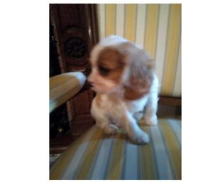 Cavalier King maschietto