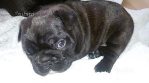 Cuccioli bulldog francese