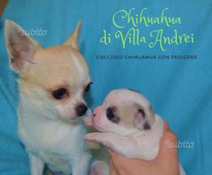 Cucciolo chihuahua con pedigree
