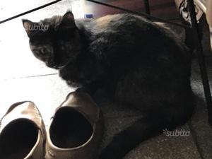 Gattina di 2 anni sterilizzata