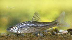 gambusie pesci mangia zanzare alessandria posot class