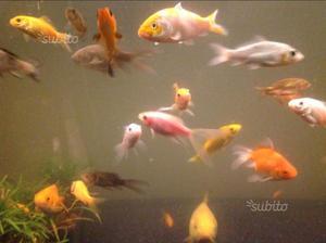 Gambusie pesci antizanzara posot class for Pesci rossi carpe