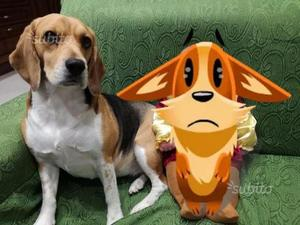 Regalo beagle di 4 anni femmina