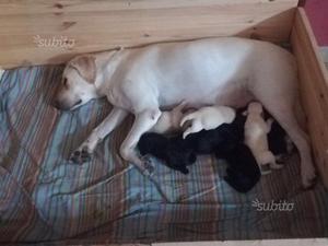 Splendidi cuccioli di Labrador miele e neri