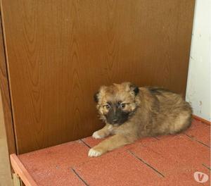 CAPPUCCINO, Cucciolo di 2 mesi e mezzo....cerca casa