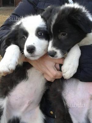 A Torino cuccioli di border collie con pedigree