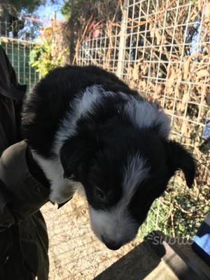 Border collie maschio
