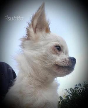 Chihuahua cucciolone maschio con pedigree