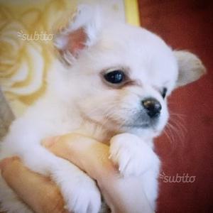 Chihuahua maschio pelo lungo con pedigree