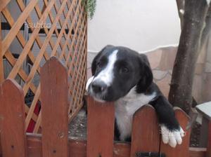 Cucciola di Beagle Di Mesi Due Vaccinata