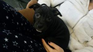 Cucciola di pitbull 2 mesi