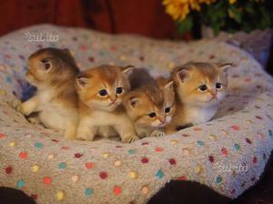 Cuccioli di British Shorthair colore Golden