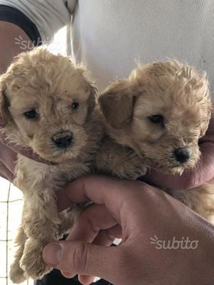Cuccioli di barboncino Toy albicocca