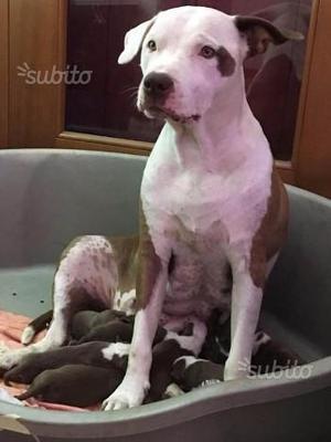 Cuccioli pitbull red nose con pedigree
