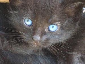 Gattino nero di circa 4 mesi
