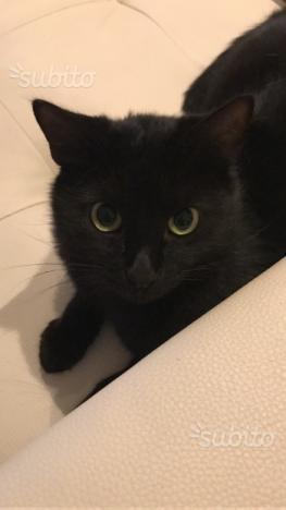 Gatto maschio sterilizzato/sverminato/vaccinato