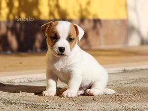 Jack russell terrier ROI