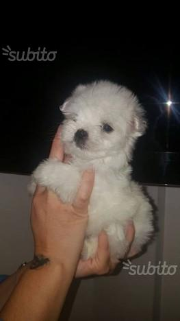 Maltese toy con pedigree