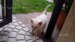 Regalasi gattino