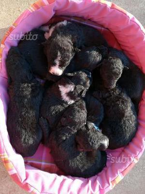 Regalo cuccioli di cane da pastore