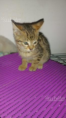Regalo due gattini insieme, di appena tre mesi