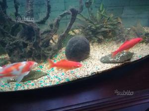Quasi regalo pesci rossi per esubero posot class for Vaschetta per pesci rossi prezzi