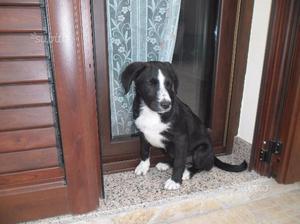 Tenerissima Cucciola Di Beagle