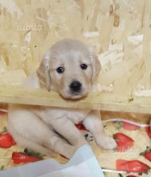Vendita di cuccioli di golden retriever con pedigr