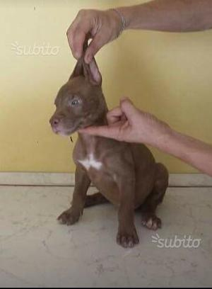 American Pitbull Terrier Ukc