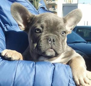 Cerco bulldog francese blu