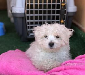 Cane razza hannoveriano cane hannover posot class for Cane razza maltese
