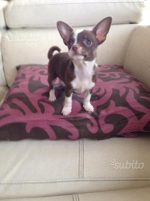 Cucciola di chihuahua a pelo corto femmina