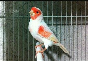 Canarini novelli Rosso mosaico