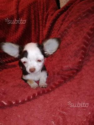 Chihuahua femmina chocolate