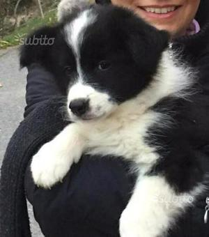 Cucciola Border Collie