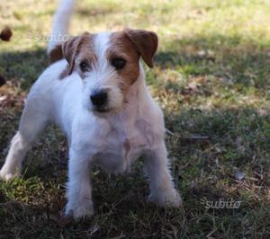 Jack Russell Terrier femmina in affidamento