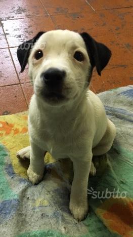 Regalo stupenda cucciola di jack russell terrier