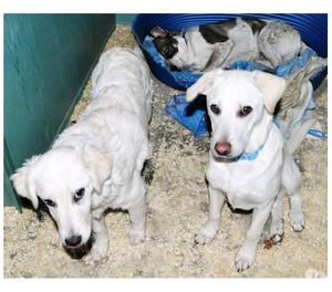 Cuccioli simil labrador e golden in canile