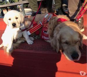 Vendesi cuccioli di Labrador Retrievers miele