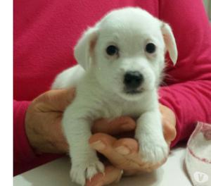 Jack Russell Terrier cuccioli NUOVO