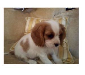 Cucciolo Cavalier King 3 mesi
