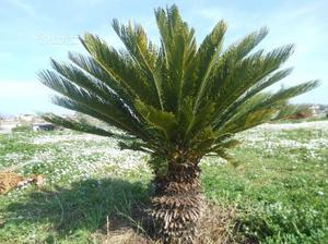Alberi piante ulivo olivo ornamentali posot class for Magnolia pianta prezzi