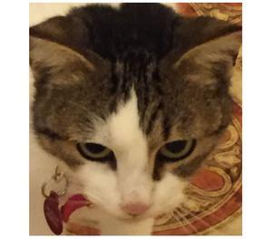 Mela, gattina di un anno in adozione