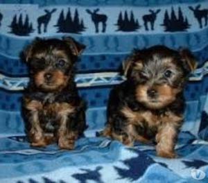 Disponibili bellissimi cuccioli di yorkshire toy
