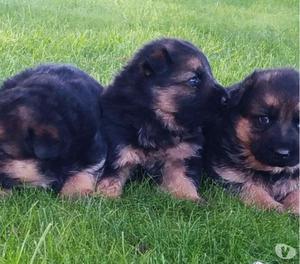 Stupendi cuccioli di pastore tedesco con pedigree