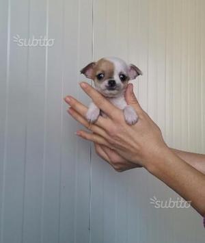Adorabili Chihuahua pelo corto con pedigree Enci